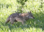 New Castle Forms Two Groups to Tackle Coyote Problem