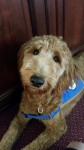 Golden Doodle Therapy Dog Joins Staff at Funeral Home