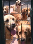 Rescued Golden Retrievers Need Homes