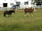 Two horses at Tilly Foster Farm.