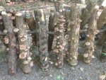 Log-Grown Shiitake: Economics and Management for a Profitable Crop