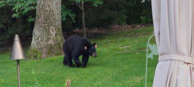 Bear 211