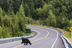 A black bear crossing the road